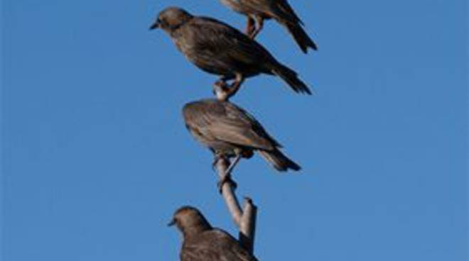 Storni uccelli