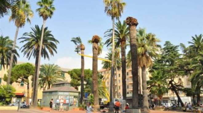 Ad Albenga il taglio delle palme pericolanti