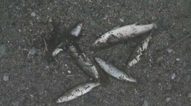 Savona, pesci morti alla foce del Letimbro