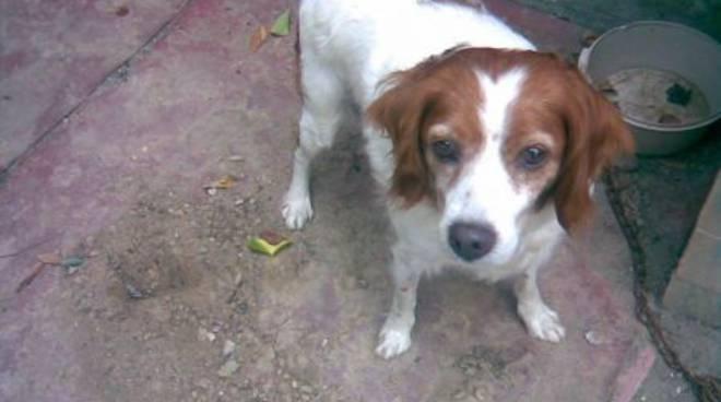 Quiliano, ritrovata cagnolina di razza Epagnuel Breton