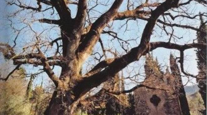 Un albero di Garlenda sulle pagine del National Geographic