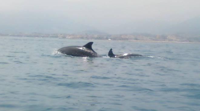 Pietra, branco di delfini