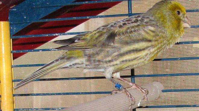 Savona, uccellino smarrito: si cerca il proprietario