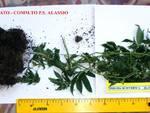 Sorpeso con pianta di cannabis: arrestato dagli agenti del commissariato di Alassio