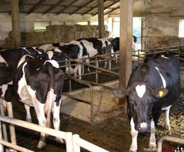 Mucche zootecnia allevamento