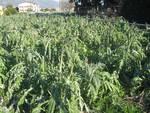 agricoltura, coldiretti - danni per il freddo
