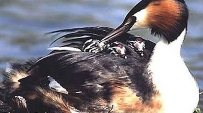 animali: svasso maggiore