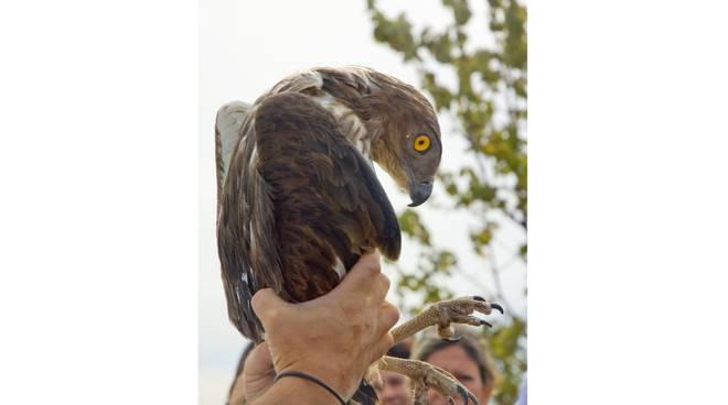 biancone uccello Beigua