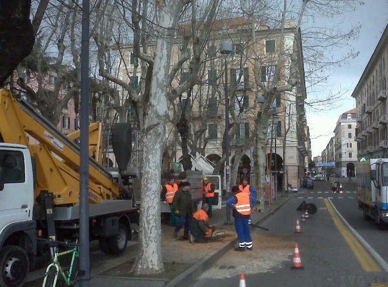 taglio alberi piazza del popolo