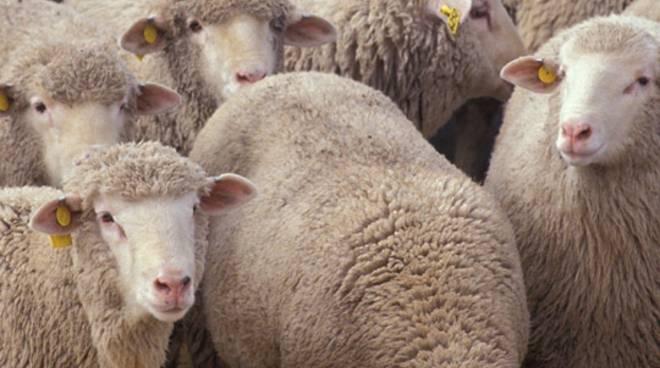pecore ovini