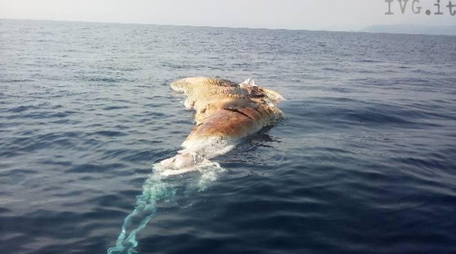 balena morta al largo di Savona