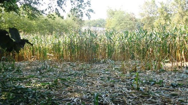danni mais agricoltura