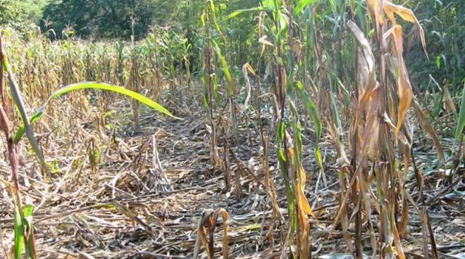 danni mais agricoltura 2