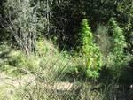garlenda - piantagione marijuana