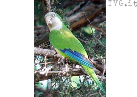 parrocchetto pappagallo
