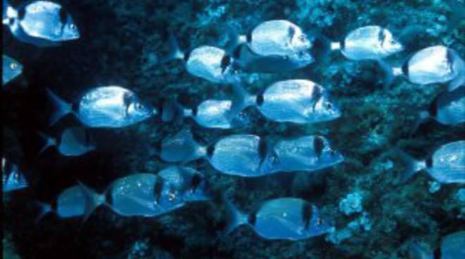 branco pesci