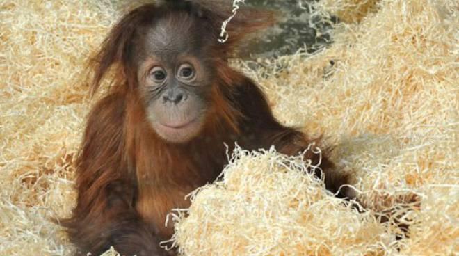 orangotango bebe