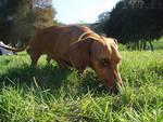 cane area canina