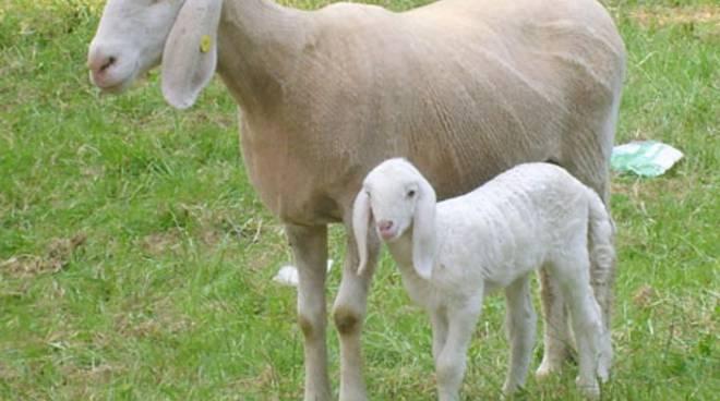 pecora e agnello