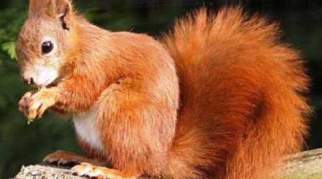 scoiattolo bracconaggio
