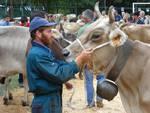 mostra mucca bruna