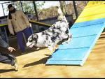 agility dog - cane