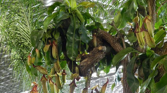 nepenthes euroflora (carnivora)
