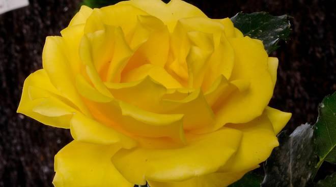 rosa rimosa