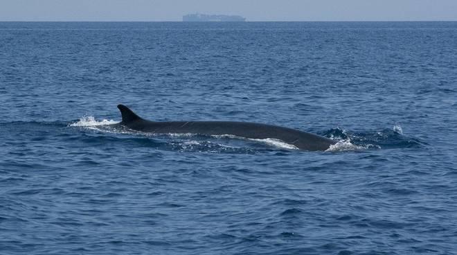 balenottera balena