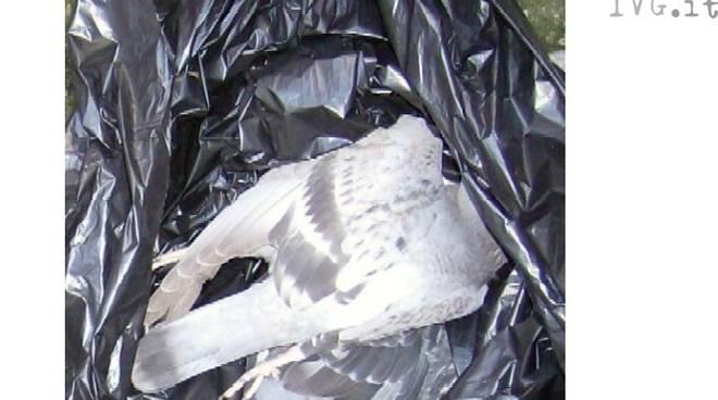piccione rifiuti