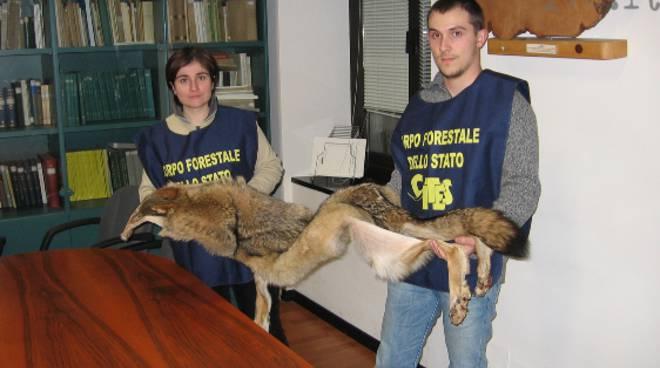 alassio: pelle di lupo sequestrata a negoziante