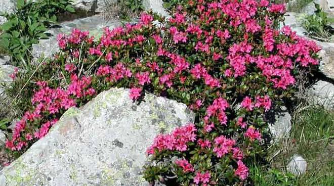 rododendro rosso - fiori