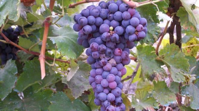 vendemmia uva uve