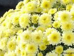 crisantemi, fiori
