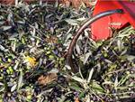 olive, frantoio