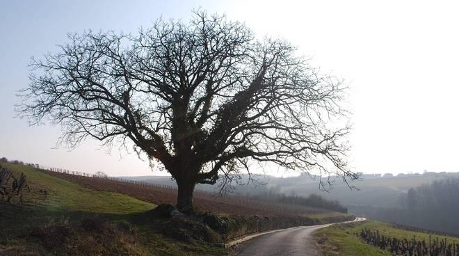 albero, ulivo, vigneto