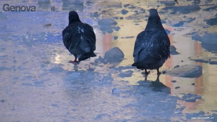 piccione de ferrari ghiaccio