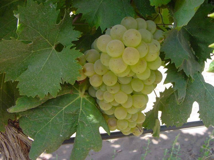 vite uva vitigno