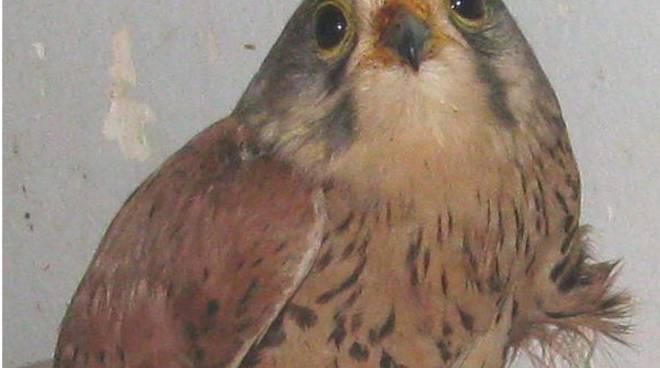 gheppio, uccello,