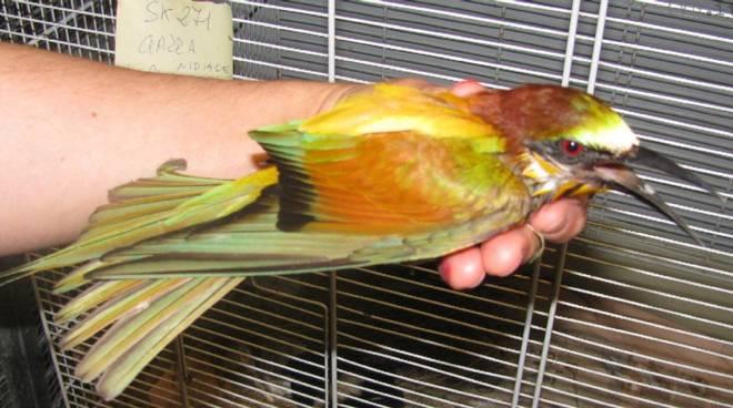 gruccione, uccello
