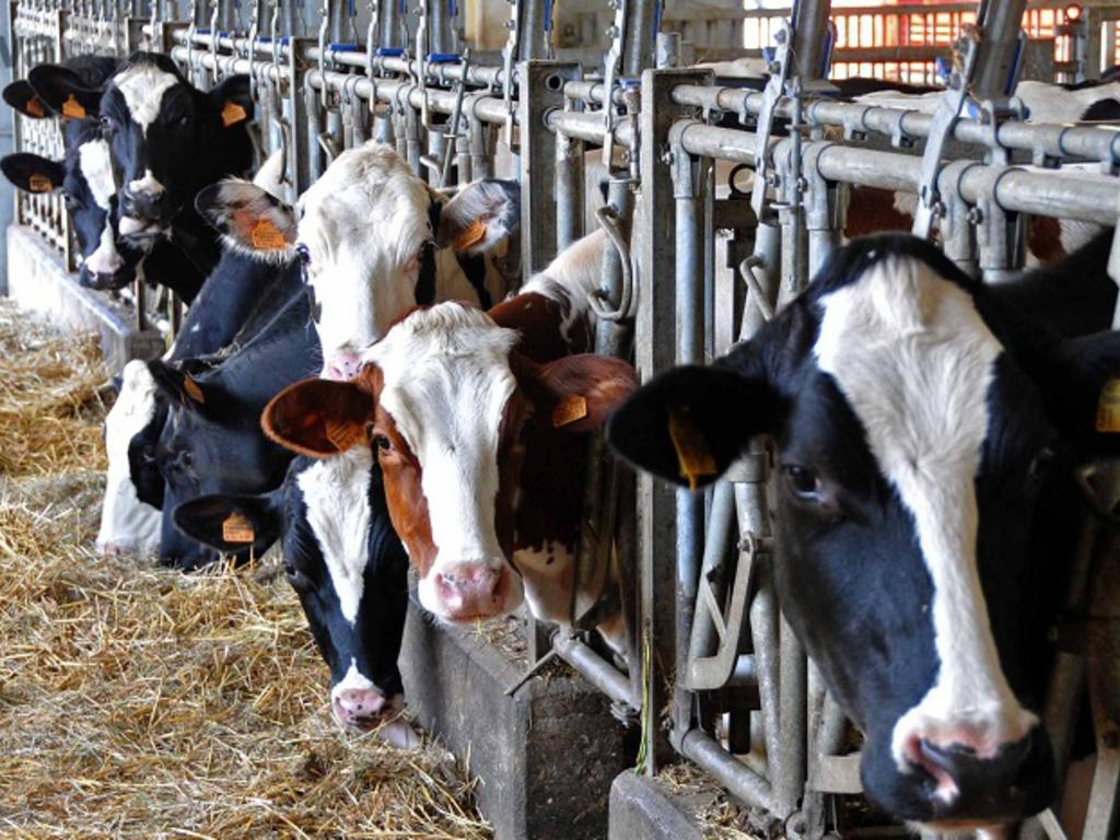 mucche expo rossiglione