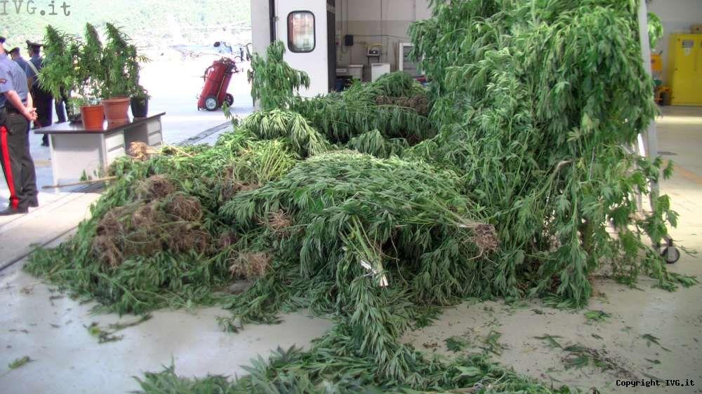 Coltivazione cannabis Casanova
