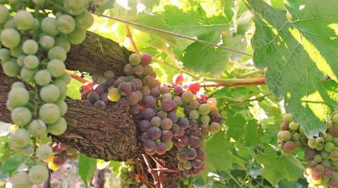 grappolo uva, vigneto