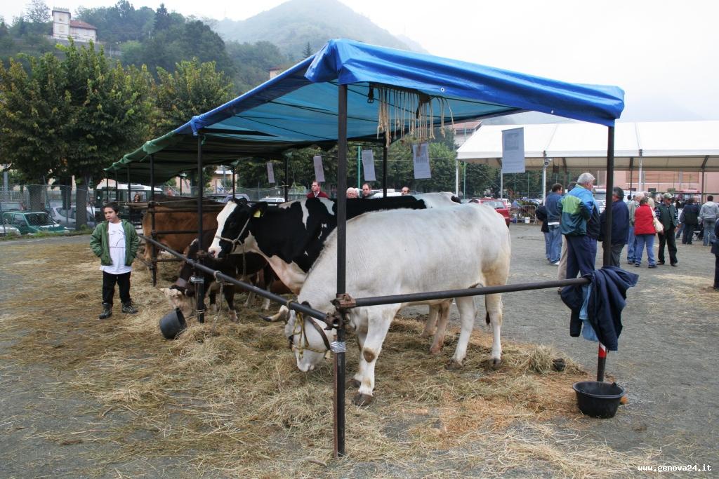 mostra zootecnica, mucca, mucche