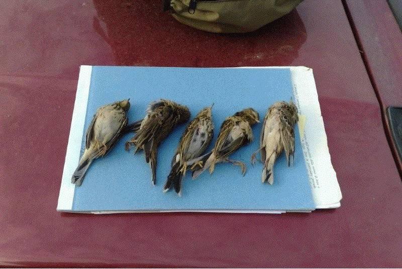 uccellini uccisi vado bracconaggio