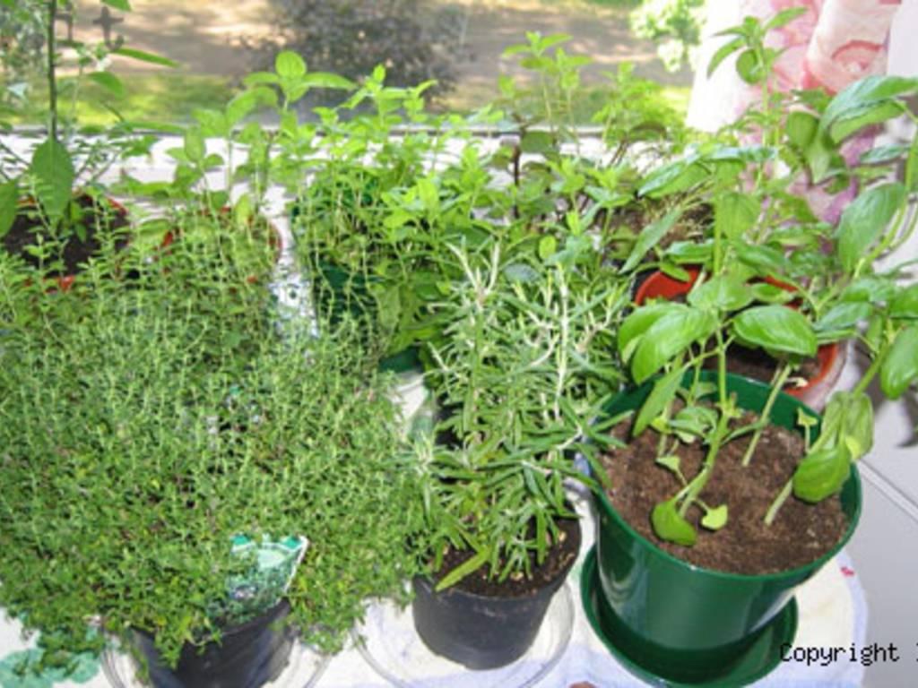 piante aromatiche