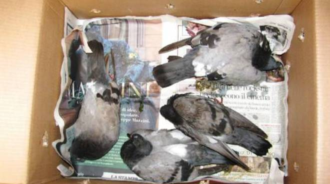 avvelenamento colombi