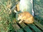 gattino fortunello