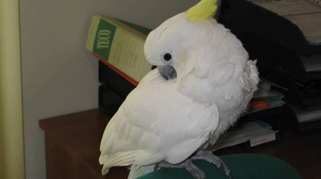 pappagallo cacatua