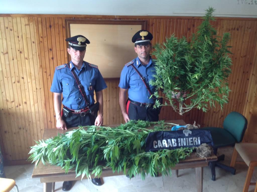 piantagione marijuana pallare